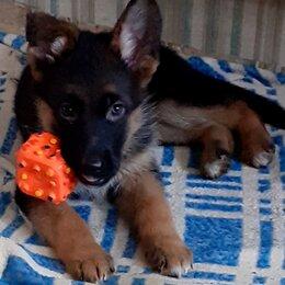 Собаки - Породистые немецкие овчарки., 0