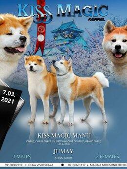 Собаки - Продам щеночков Акита-Ину от титулованных…, 0