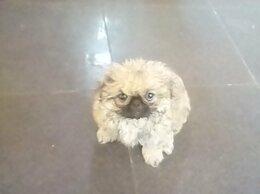 Собаки -  пекинесы, 0