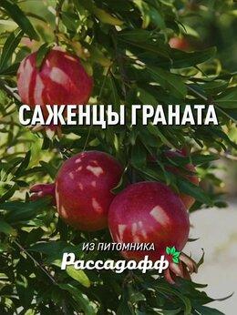 Рассада, саженцы, кустарники, деревья - Саженцы граната, 0