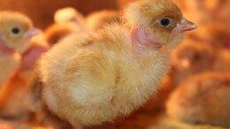 Сельскохозяйственные животные - Цыплята голошейки 2х недельные, 0