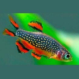 Аквариумные рыбки - Микрорасбора Галактика красивая маленькая мирная…, 0