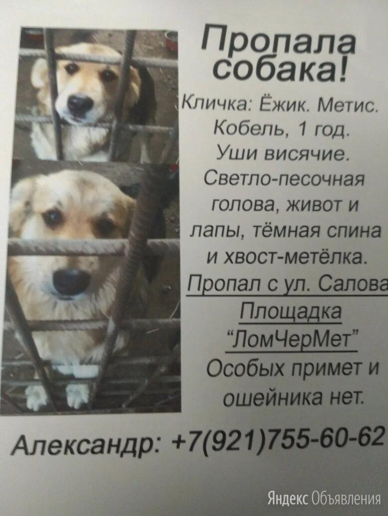 Пропал пёс Ёжик.Фрунзенский р-он. по цене не указана - Животные, фото 0