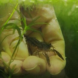 Аквариумные рыбки - Рак пуэр (подрощенные) , 0
