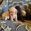 Щетки американские Кокер спаниель по цене 8000₽ - Собаки, фото 8
