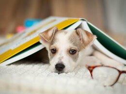 Собаки - Ищут дом 11 щенков — метисы той-терьера в дар, 0