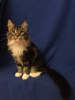 Кошки - котята мейн-кун, 0