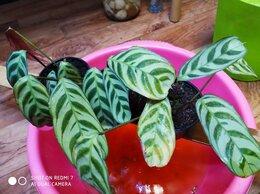 Комнатные растения - ктенанта строманта маранта букле макси сорт, 0