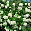 Калина бульденеж по цене 650₽ - Рассада, саженцы, кустарники, деревья, фото 2