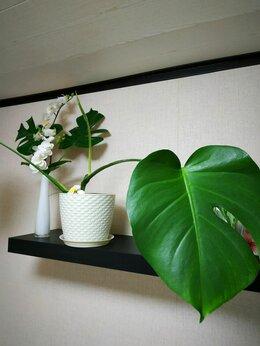 Комнатные растения - Монстера, 0
