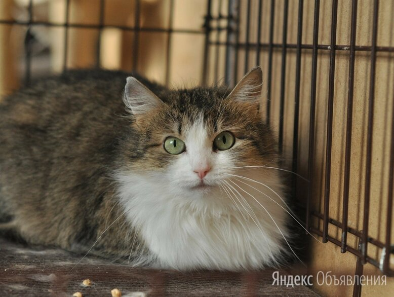 Зеленоглазая кошка Антонина по цене даром - Кошки, фото 0