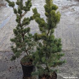Рассада, саженцы, кустарники, деревья - Сосна японская белая 'Темпельхоф', 0