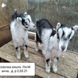 Сельскохозяйственные животные и птицы - Козочки альпо -ламанча продаются, 0