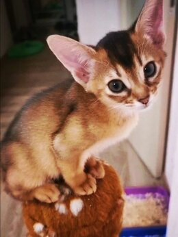 Кошки - Абиссинские котята (кошки) , 0
