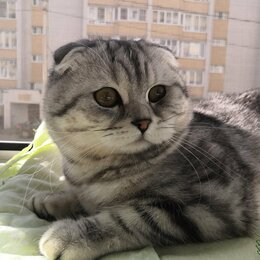 Услуги для животных - Вязка шотландского вислоухого кота, 0