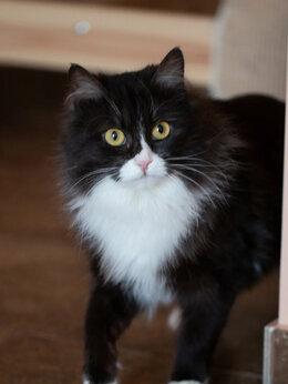 Кошки - Меховая красотка Буковица ждёт семью, 0