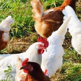 Птицы - Курочки на яйцо и мясо, 0