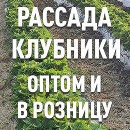 Рассада, саженцы, кустарники, деревья - Рассада клубники. Оптом и в розницу, 0