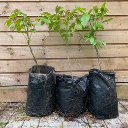 Рассада, саженцы, кустарники, деревья - Саженцы грецкого ореха, морозостойкие двухлетние с ЗКС, 0