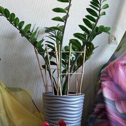 Комнатные растения - Замиокулькас. 1,5 метра, 0