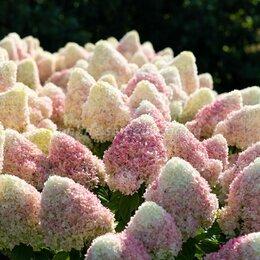 Рассада, саженцы, кустарники, деревья - Гортензия метельчатая садовая Summer Love…, 0