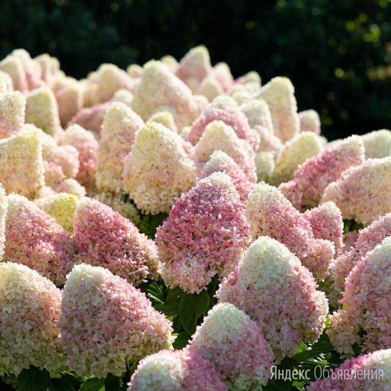 Гортензия метельчатая садовая Summer Love (Саммер Лав)  по цене 1000₽ - Рассада, саженцы, кустарники, деревья, фото 0