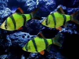 Аквариумные рыбки - БАРБУС ГЛО ЗЕЛЁНЫЙ - ЗАМОРОЖЕННЫЕ И СУХИЕ КОРМА, 0