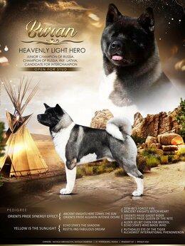 Собаки - Американская акита кобель, 0