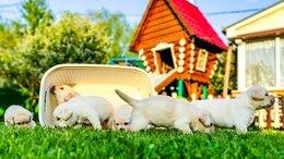Собаки - Продам щенков породы лаблодор , 0