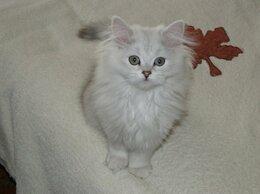 Кошки - Шотландский серебряный котик Ирбис, 0
