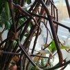 Золотой ус по цене 50₽ - Рассада, саженцы, кустарники, деревья, фото 1