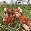 Куры Несушки 4-5 мес. по цене 550₽ - Сельскохозяйственные животные и птицы, фото 2
