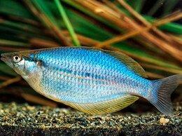 Аквариумные рыбки - Хилатерина радужница Lorentzii, 0