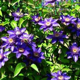 Рассада, саженцы, кустарники, деревья - МультиБлю (Multi Blue) – клематис крупноцветковый., 0