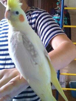 Птицы - Попуга кореллы, домашние, 0