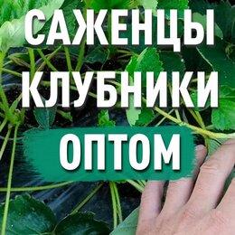 Рассада, саженцы, кустарники, деревья - Рассада клубники. Оптом, 0