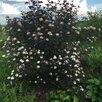 саженцы Пузыреплодника от 150 р по цене 150₽ - Рассада, саженцы, кустарники, деревья, фото 1