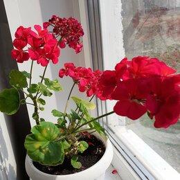 Комнатные растения - Герань, 0