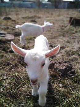 Сельскохозяйственные животные - Зааненские козы и козлик 100% чистопородные, 0