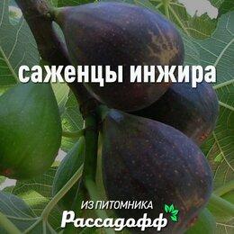 Рассада, саженцы, кустарники, деревья - Саженцы инжира от производителя, 0