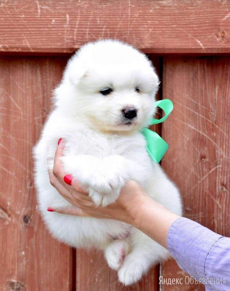 Самоедская лайка  щенки по цене не указана - Собаки, фото 0