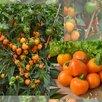 Семена Сортовых ПЕРЦЕВ для выращивания в ДОМАШНИХ условиях/БАЛКОН/Квартира по цене 50₽ - Семена, фото 8