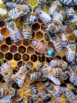 Сельскохозяйственные животные - Пчёлиные матки Бакфаст. , 0