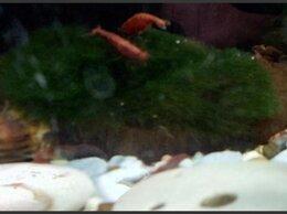Аквариумные рыбки - Креветки вишня, черри/neocaridina davidi var red, 0