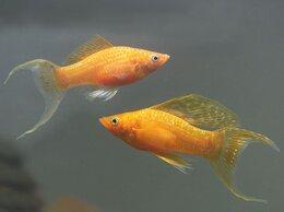 Аквариумные рыбки - Моллинезия золотая лирохвостая, 0