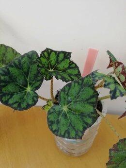 Комнатные растения - Бегония, 0