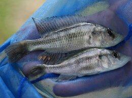 Аквариумные рыбки - Хаплохромис серебрянный стилет, 0