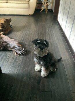 Собаки - Цвергшнауцер чёрный с серебром, 0