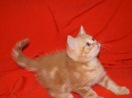 Кошки - Рыжий Британец Рэд., 0