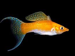 Аквариумные рыбки - Моллинезия шафранная белобрюхая лирохвостая, 0